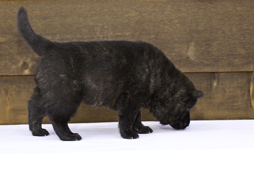 Nori-Litter2-30Days-Puppy4(male)c