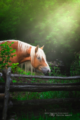 summer horse canada male green beautiful animal fence fur glow quebec atmosphere blond handheld belgian lush fullframe emerald mane parcomega shaftsoflight papineauville canoneos6d canonef70300mmf456lis thousandwordimages dustinabbott dustinabbottnet adobelightroom5 adobephotoshopcc alienskinexposure6