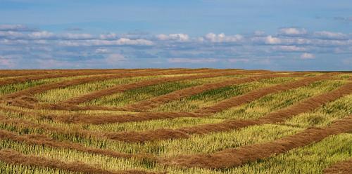 canada harvest olympus saskatchewan canola omd swath em5