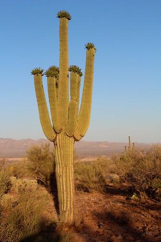 arizona usa cacti landscapes flickr desert unitedstatesofamerica gps 2013 pinalcounty sanpedrorivervalley saguarocactuscarnegieagigantea camcanonrebelt3i