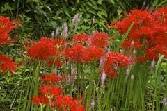 annual plant, prairie, shrub, flower, garden, plant, crocosmia 㗠crocosmiiflora, herb, flora, meadow,
