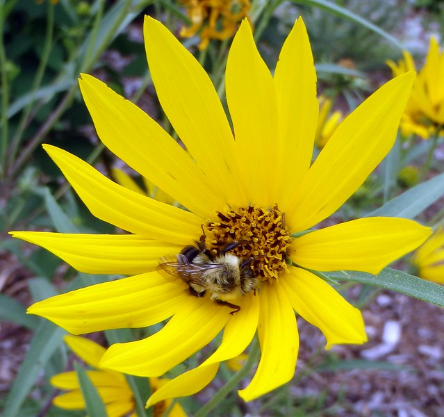 a bumblebee in a sunflower
