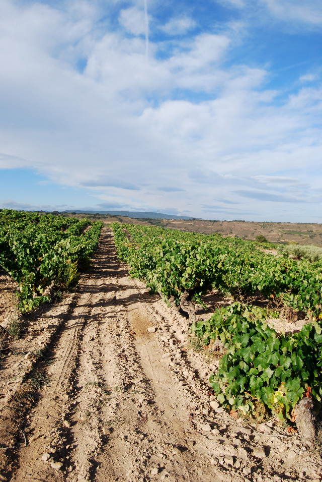 Campo Viejo's Vineyard, Rioja