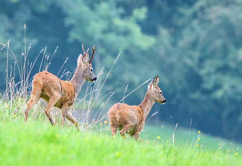 Roe Deer, Cotswolds, Gloucestershire