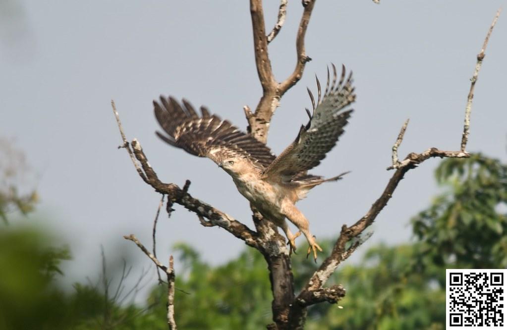 Changeable hawk-eagle [Águila Azor Variable]
