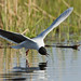 Little Gull (Mati Kose)