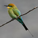 rainbow bee-eater (Merops ornatus)-7251 by rawshorty