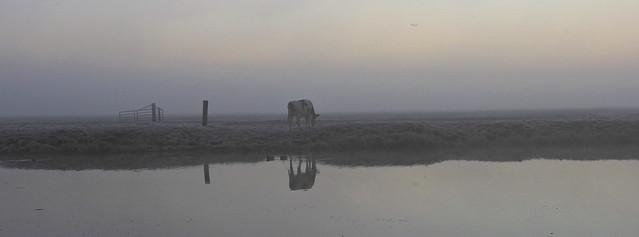 cow on frozen field
