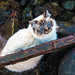 Sacred Birman by RuBreiset
