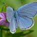 Common Blue (Polyommatus icarus) male ©berniedup