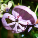 Small photo of Akebia quinata. Ornamental flowering climber.