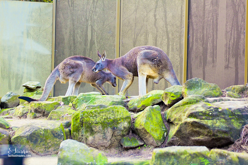 Couple of giant red kangaroos