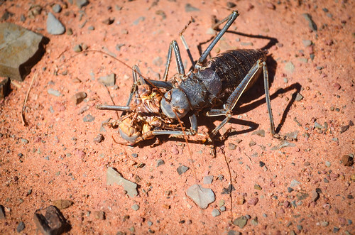 Cannibal armoured cricket in the Waterberg
