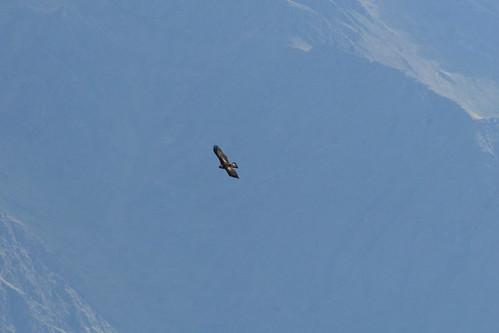 Golen Eagle