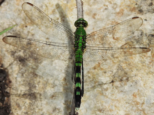easternpondhawkdragonflyfemale