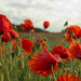 Poppies by Chris Arnopp