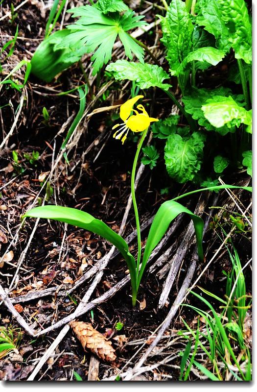 Glacier Lily 21