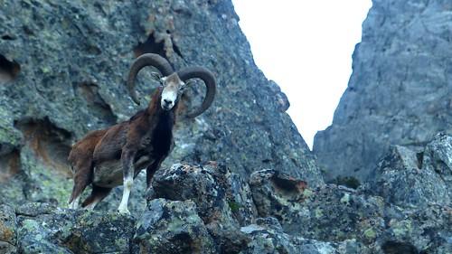 Le mouflon du petit matin sous les cabanes de Vetta di Muru