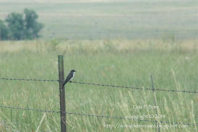 2014.07.27EasternKingbird