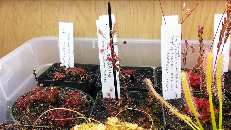 Drosera madagascariensis in the tray.