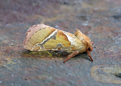 15 Orange Swift - Hepialus sylvina