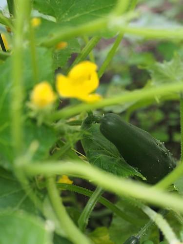 cucumber coming