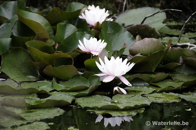 Waterlelie Marliacea Carnea / Nymphaea Marliacea Carnea