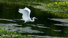 Aigrette garzette Egretta garzetta - Little Egret