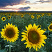 Sunflower Eve by Kristal Kraft ~ DenverDwellings