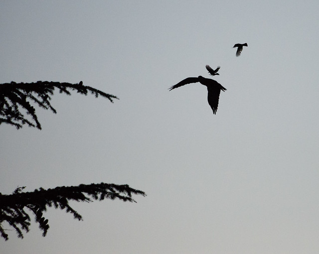 swainsons_hawk_flying_silhouette-20140719-102