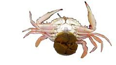 開花母蟹(圖例:鏽斑蟳,俗稱花蟹)腹側(圖:漁業署)
