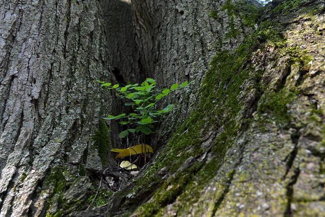 Pagoda Tree with Seedling