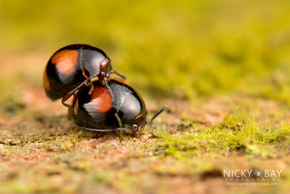 Darkling beetles (Leiochrinus sp.) - DSC_1789