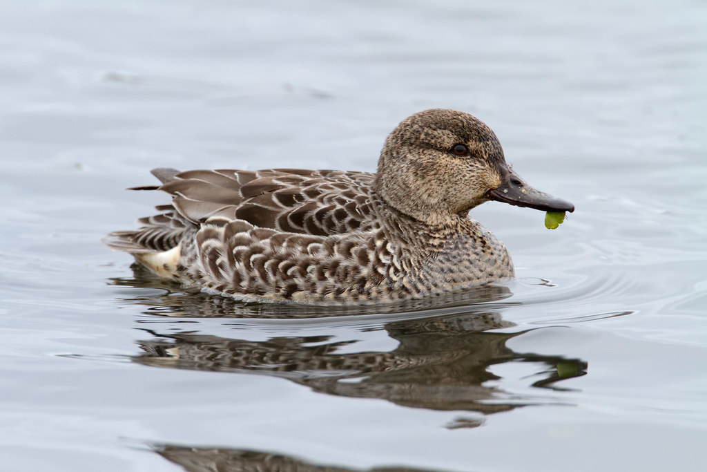 A female green-winged teal swims with plant life hanging from her bill
