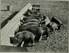 "Image from page 148 of ""Southern pork production"" (1918)"