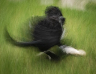 Portuguese Water Dog in motion