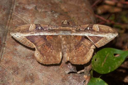 erebidae erebinae noctuidae hemeroblemma opigena pandrosa suriname tafelberg