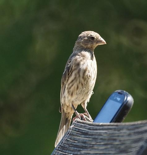 House Finch Tweeting