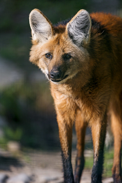 Maned Wolf Standing In The Sun Flickr Photo Sharing