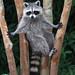 Raccoon (Procyon lotor) by Paul Hueber