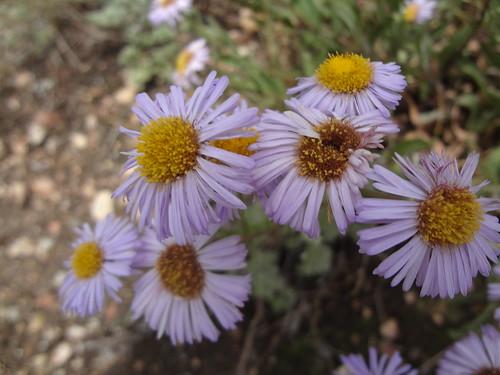 Alpine daisies (Aster alpinus)