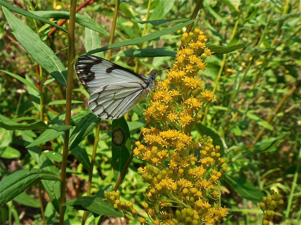 Pine White on Goldenrod