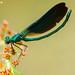 """Libelinha"", Beautiful Demoiselle (Calopteryx virgo) - em Liberdade [in wild]"