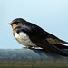Swallow - Ouse Washes, Cambridshire