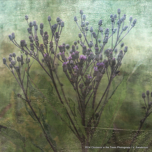 ohio painterly nature floral landscape botanical purple grunge meadow wetlands series marsh wildflowers distressed textured 145 midwestern vernoniaaltissima ironweed texturized tallironweed butterflyhabitat