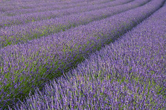 Hitchin Lavender field diagonal