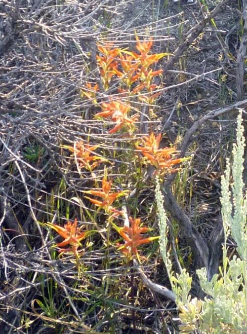 Castilleja linariifolia 14968905007_f2c145bc9c_o