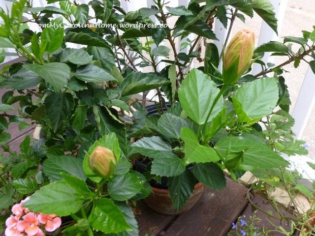 Garden September 9 -hibiscus