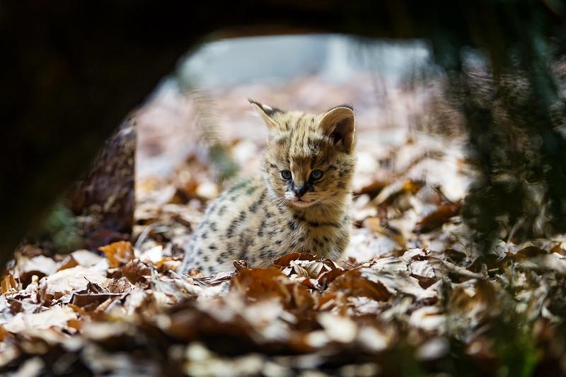 A cute serval baby