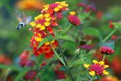 annual plant, flower, plant, invertebrate, insect, macro photography, herb, flora, lantana camara,